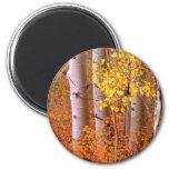 Árboles de Aspen en otoño Iman Para Frigorífico