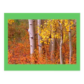 Árboles de Aspen en otoño Postal