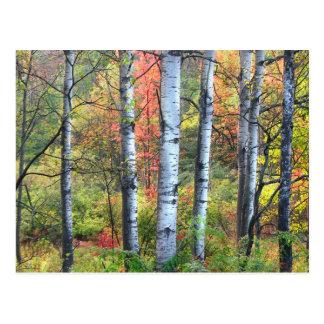 Árboles de Aspen en postal del otoño