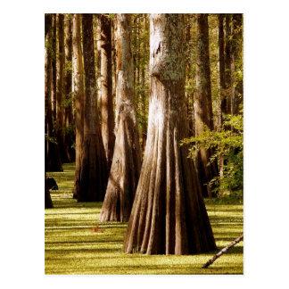 Árboles de Cypress calvo con los troncos del contr Tarjetas Postales