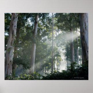 Árboles de goma (eucalipto) en la selva tropical T Impresiones