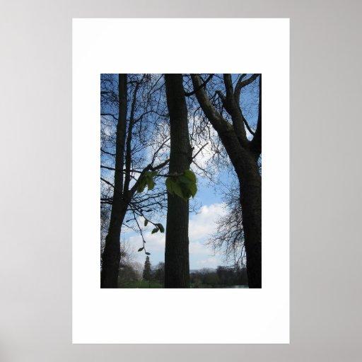 Árboles de haya póster