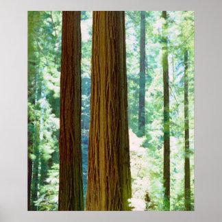 árboles de la secoya del Viejo-crecimiento Póster