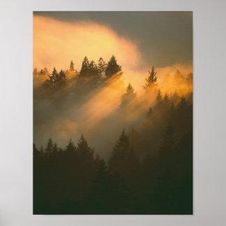 Árboles de la secoya en la niebla costera, el cond póster
