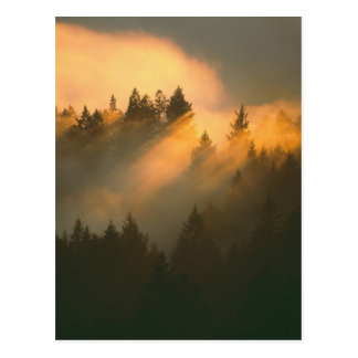 Árboles de la secoya en la niebla costera, el cond tarjeta postal