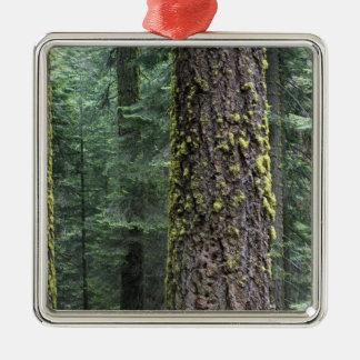 Árboles de la secoya gigante en el bosque, secoya  adorno de navidad
