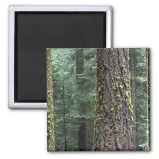 Árboles de la secoya gigante en el bosque, secoya  iman