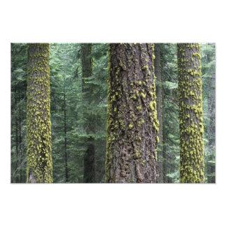 Árboles de la secoya gigante en el bosque, secoya  fotos