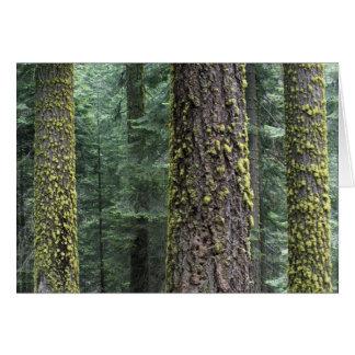 Árboles de la secoya gigante en el bosque, secoya  felicitacion