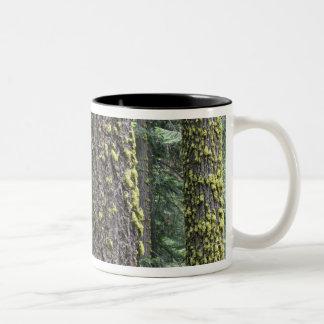 Árboles de la secoya gigante en el bosque secoya tazas de café