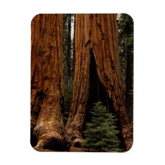 Árboles de la secoya, parque nacional de secoya iman rectangular