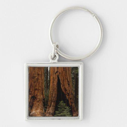 Árboles de la secoya, parque nacional de secoya llavero