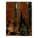 Árboles de la secoya, parque nacional de secoya tarjeta postal