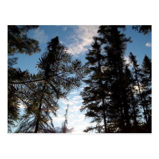 Árboles de pino hermosos tarjetas postales