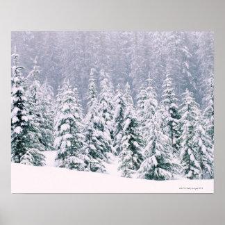 Árboles de pino nevados póster