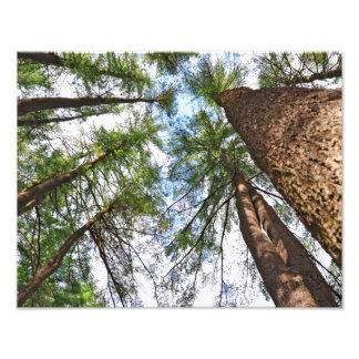 Árboles de pinos al cielo arte fotográfico