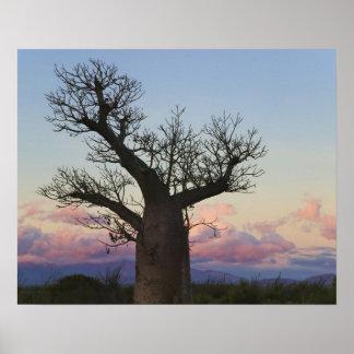 Árboles del baobab, Berenty, Toliara, Madagascar Impresiones