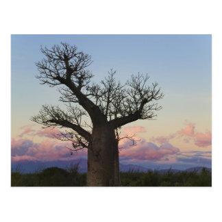 Árboles del baobab, Berenty, Toliara, Madagascar Tarjetas Postales
