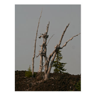 Árboles del fantasma, paso de McKenzie, Oregon Tarjetas Postales