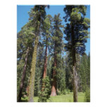 Árboles en la arboleda de Mariposa Poster