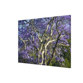 Árboles florecientes del Jacaranda en nuevo parque Impresión En Lienzo