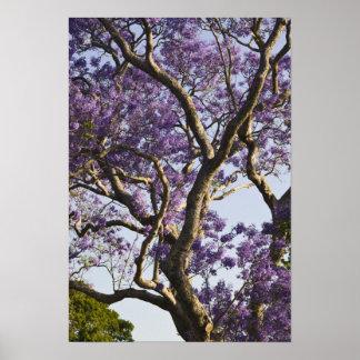 Árboles florecientes del Jacaranda en nuevo parque Póster