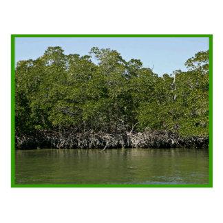 Árboles rojos del mangle en el borde del agua tarjeta postal