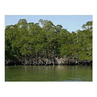 Árboles rojos del mangle en el borde del agua tarjetas postales