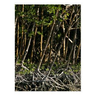 Árboles rojos del mangle tarjetas postales