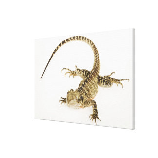 Arboreal agamid species native to Eastern 2 Canvas Print