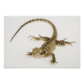 Arboreal agamid species native to Eastern 2 Posters