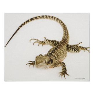 Arboreal agamid species native to Eastern 2 Poster