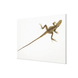Arboreal agamid species native to Eastern Canvas Print