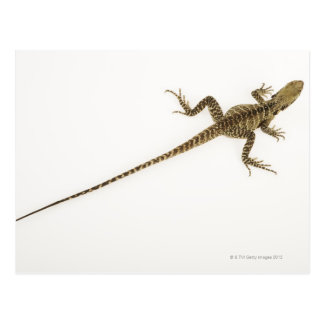 Arboreal agamid species native to Eastern Postcard