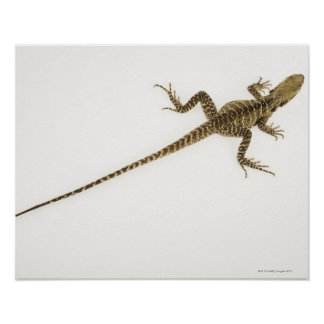 Arboreal agamid species native to Eastern Poster