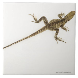 Arboreal agamid species native to Eastern Ceramic Tile