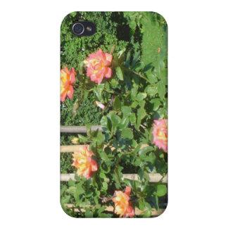Arbusto color de rosa iPhone 4 carcasas