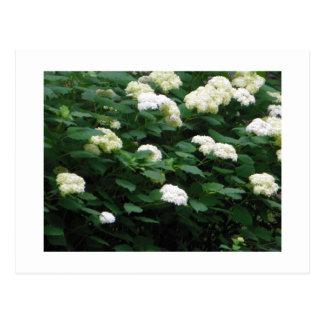Arbusto de la bola de nieve en postales de la flor
