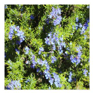 arbusto floreciente del romero fotografía