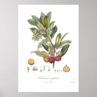 Arbutus unedo-Stawberry tree Print