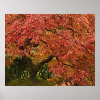 Arce japonés en color de la caída póster
