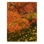 Arce japonés en el color 2 de la caída postal