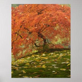 Arce japonés en el color 3 de la caída posters