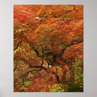 Arce japonés en el color 4 de la caída posters