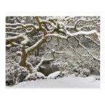Arce japonés nevado 2 tarjeta postal