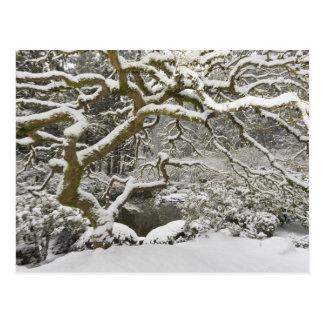 Arce japonés nevado 2 postal