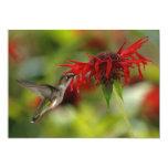 Archilochus Rubí-Throated Colubris del colibrí Invitación 12,7 X 17,8 Cm