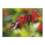 Archilochus Rubí-Throated Colubris del colibrí Impresion En Lona