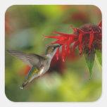 Archilochus Rubí-Throated Colubris del colibrí Calcomanía Cuadrada Personalizada