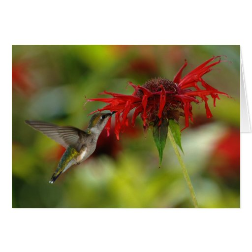 Archilochus Rubí-Throated Colubris del colibrí Tarjeta De Felicitación